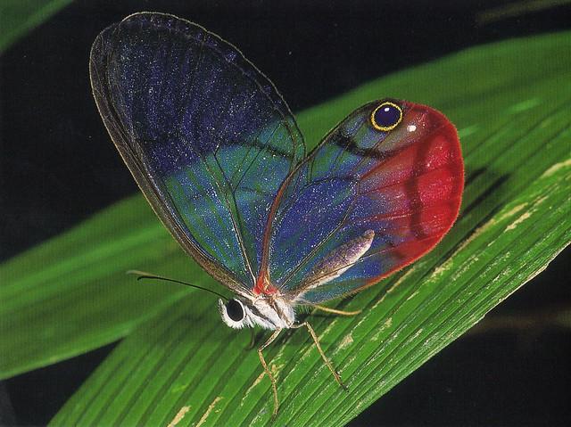 Blush Butterfly Postcard