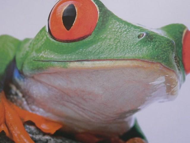 Frogs (Rane)