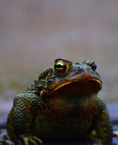 macro nikon amphibian frog d5000