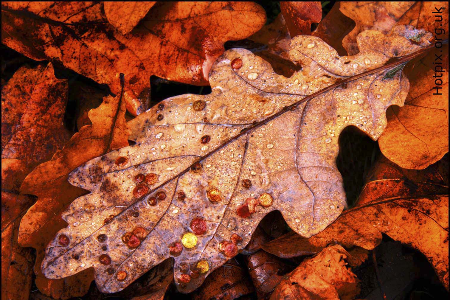 leaf,leaves,autumn,tree,trees,common,oak,spangle,gall,oak tree,brown,tony,smith,hotpixuk,hotpix,uk,tdktony,365days,photo,photos,photography,photographer,hotpix.org.uk,www.hotpix.org.uk