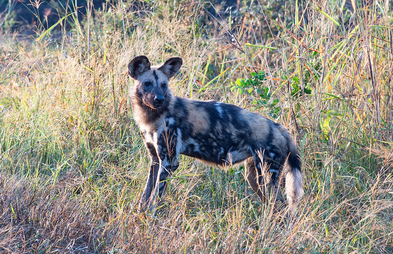 Wild dog waiting