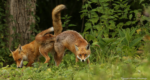Foxes pushing each other into the air with their rear ends. Explored.
