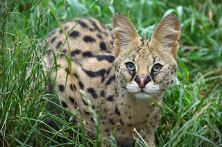 Serval | by FurLined