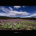Purple Fields Forever. by [ Kane ]