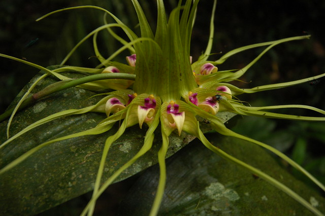 Bulbophyllum virescens