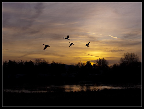 sunset canada geese no lancashire damn mere marton starlings