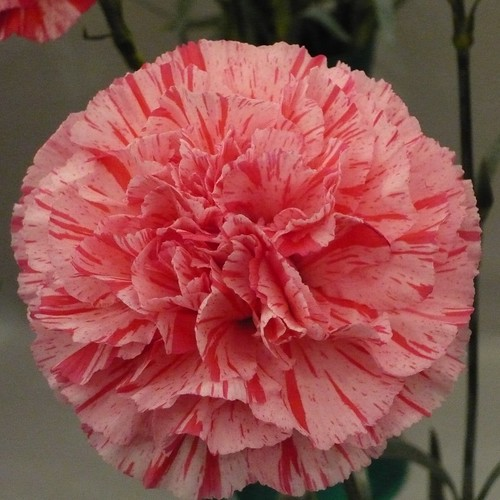 Carnation | by brianpettinger