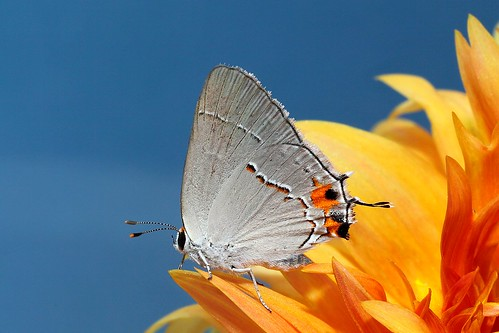 flowers macro nature canon butterfly grey mark ii 5d 100 28 mm hairstreak