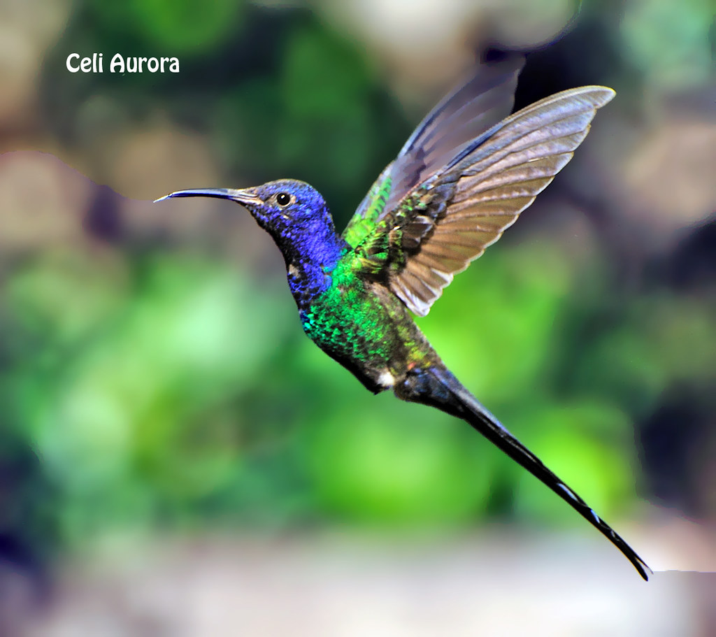 Eupetomena macroura ( Beija-flor-tesoura ) - Swallow-tailed Hummingbird  -  2639