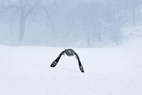 Grey owl snow flight   by Mike Ashton