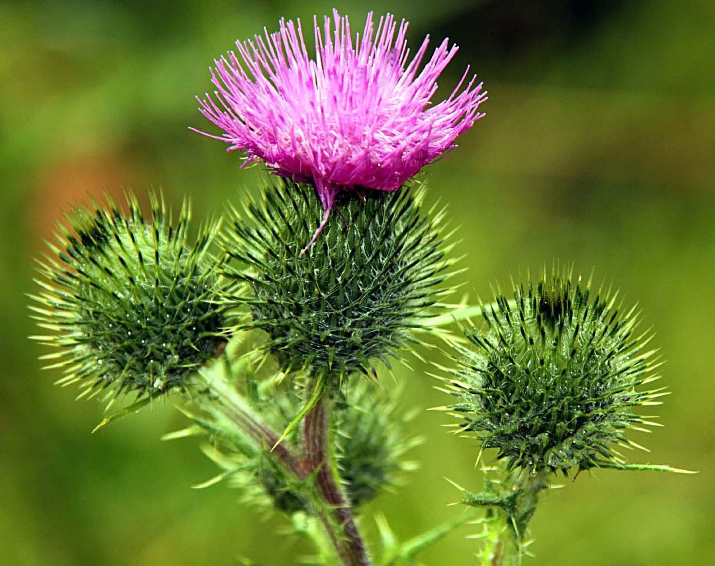 northwich,thistle,invasive,plants,weeds,scotland,flower,purple,sharp,365days,Schotland,l'Ecosse,Ecosse,Schottland,\u03a3\u03ba\u03c9\u03c4\u03af\u03b1,la,Scozia,\u30b9\u30b3\u30c3\u30c8\u30e9\u30f3\u30c9,\uc2a4\ucf54\ud2c0\ub780\ub4dc,\u0428\u043e\u0442\u043b\u0430\u043d\u0434\u0438\u044f,Escocia,nature,natural,history,world,life,this photo rocks,plant,bloom,flowers,flores,blome,edinbrugh,NaturesElegantShots,flickrflorescloseupmacros,mimamorflowers,flickrsportal,flowersarebeautiful,PhotosAndCalendar,FloraandFaunaofTgeWorld,MixofFlowers,ExquisiteFlowers,hotpix!