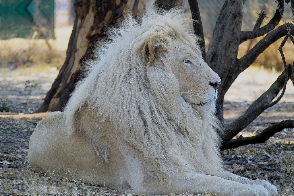 Letsatsi The White Lion Son Of Temba Img01491 Highest Flickr Images, Photos, Reviews