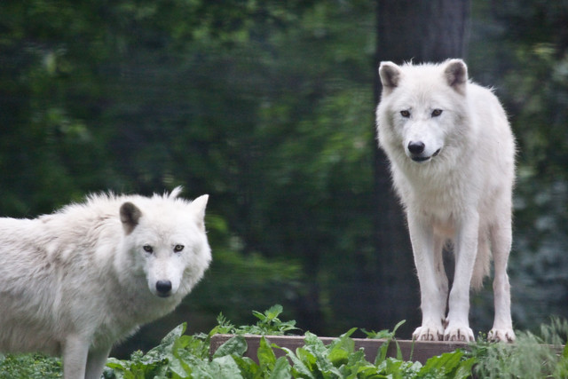 Toronto Zoo-wolf