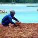 Petani Rumput Laut