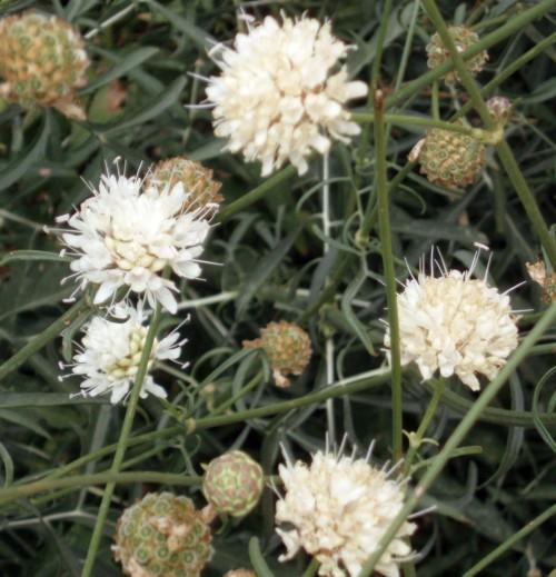 Cephalaria leucantha 4133322744_908fdef5da_o