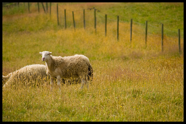 Sheep in a Langley field