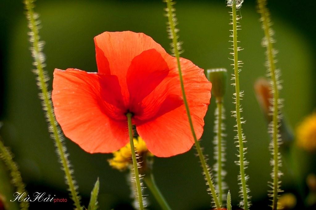 Kết quả hình ảnh cho hoa mỹ nhân
