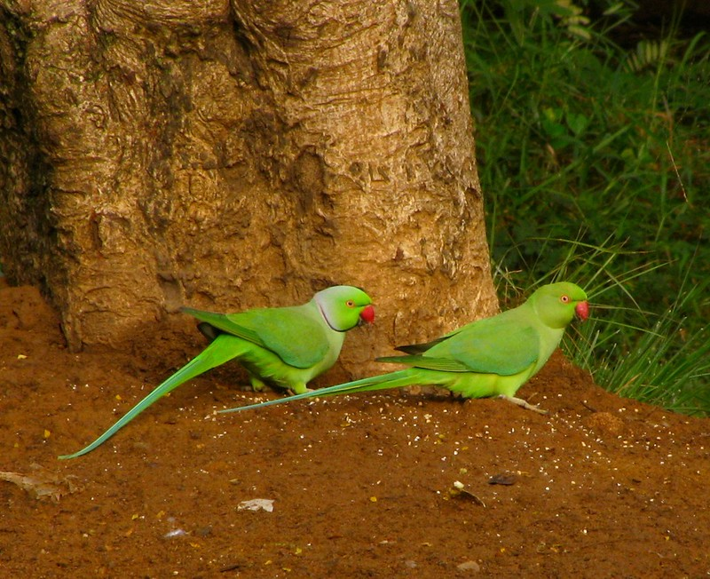 Male & Female Ringnecked Parakeets