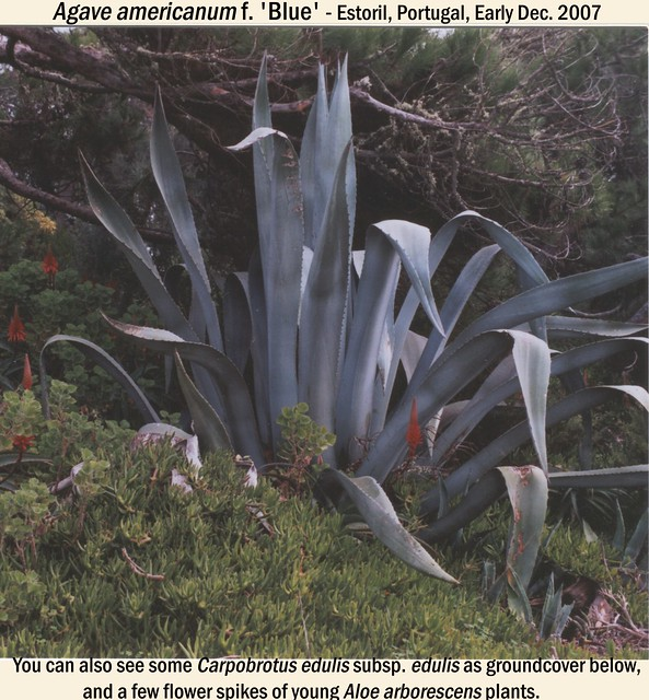 Agave americana 'Blue' with Carpobrotus edulis ssp. edulis - Estoril, Portugal Begin Dec. 2007c Glynis