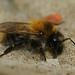 Hymenoptera - Bumblebees
