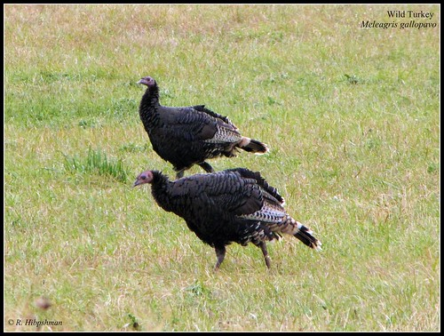Wild Turkey (Meleagris gallopavo) | by Crappy Wildlife Photography