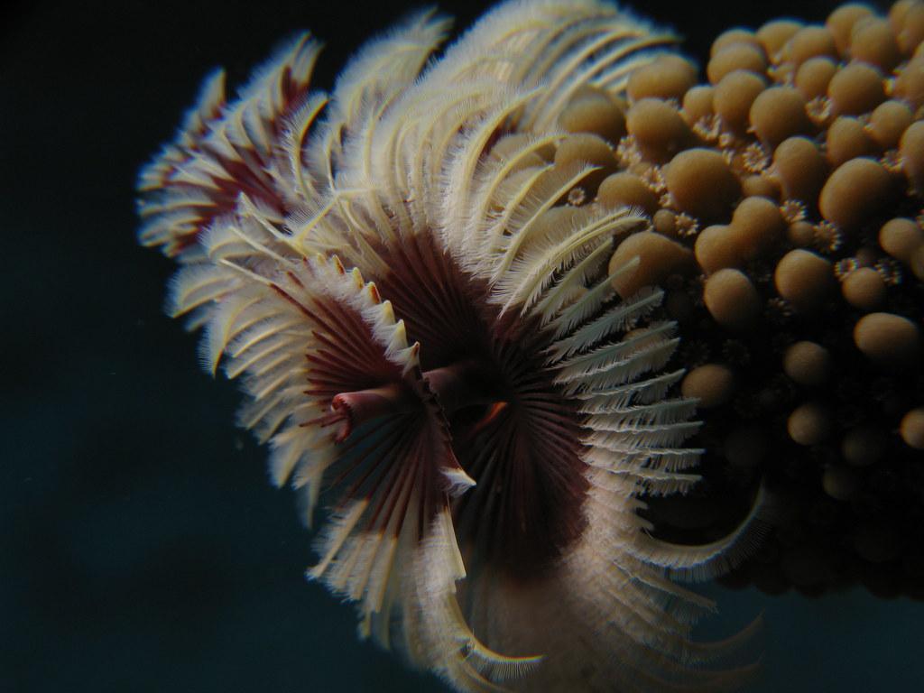 Christmas Tree Worm Prilfish Flickr