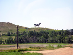 Cow on the hill