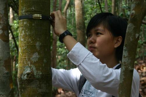 Thu, 01/29/2009 - 00:19 - Kang Min, CTFS-AA Research Assistant, installing dendrometer band.  Credit: Markku Larjavaara