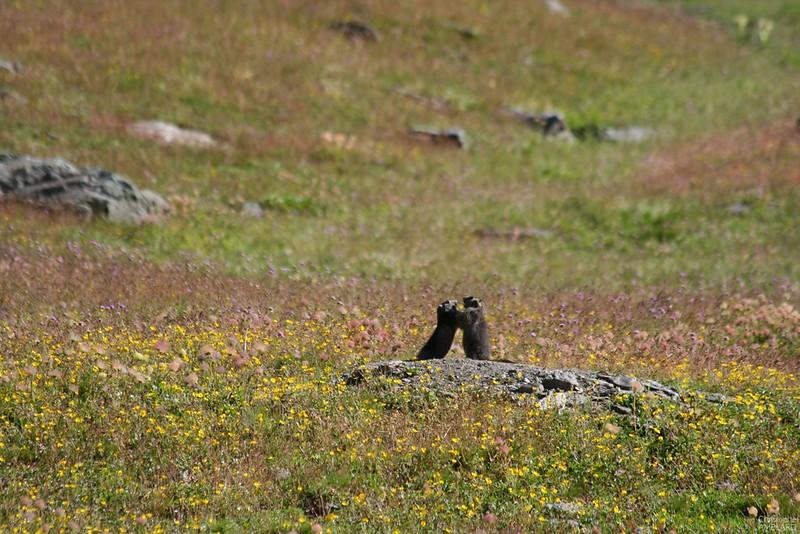 Combat de Marmottes