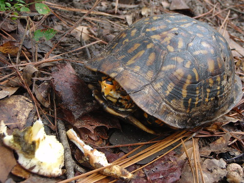 Photo of box turtle partially in shell