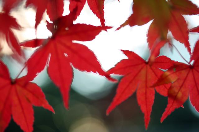 Autumn leaves ~紋~