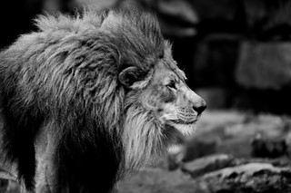 Just lion around   by b.campbell65