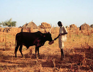Man feeds his animal supplementary feed in Niger | by International Livestock Research Institute