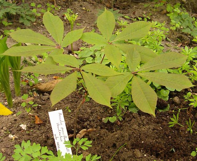 Aesculus parviflora 01