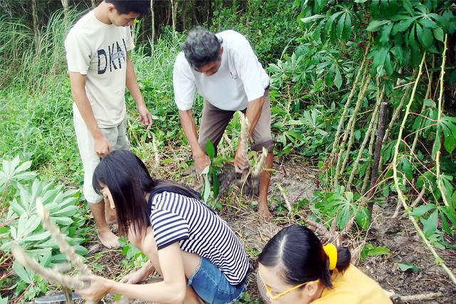 đi đào khoai mì 2