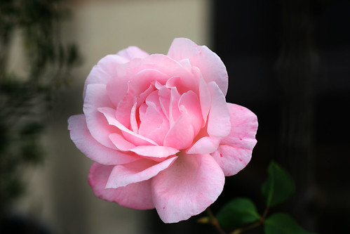 Original Rose