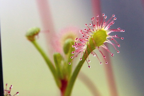 Drosera madagascariensis | by andy.denker
