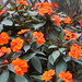 New Guinea Impatiens - Photo (c) xiroro, some rights reserved (CC BY-NC-ND)