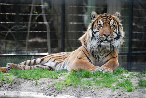 Sumatran tiger resting | by cetaylor