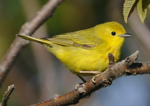 American Yellow Warbler - Setophaga petechia   by Jean-François Hic