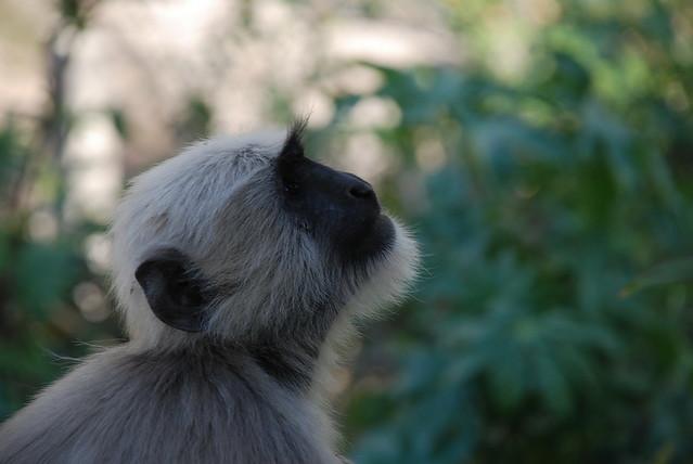 hanuman monkey