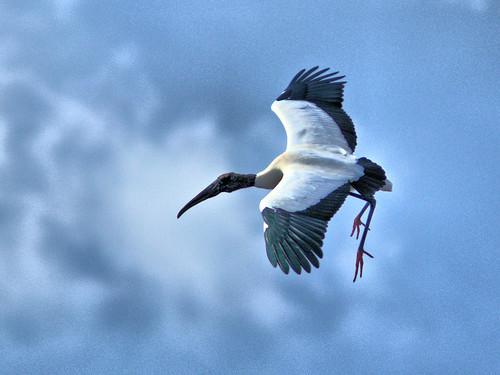 Wood Stork in flight 07-20170220