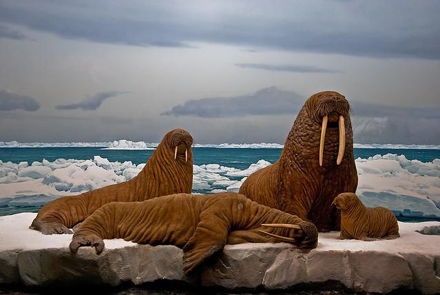 Frozen Walruses