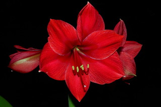 IMG_4981 Hippeastrum (Amaryllis - Red Lion) | by ArturoYee