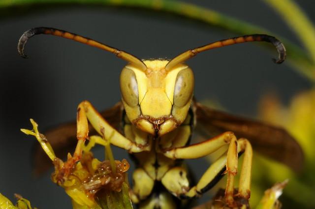 Wasp FACE!