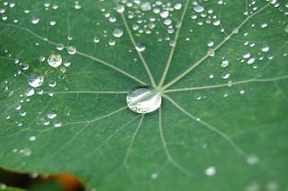 Nasturtium Droplet | by Kevin Krejci