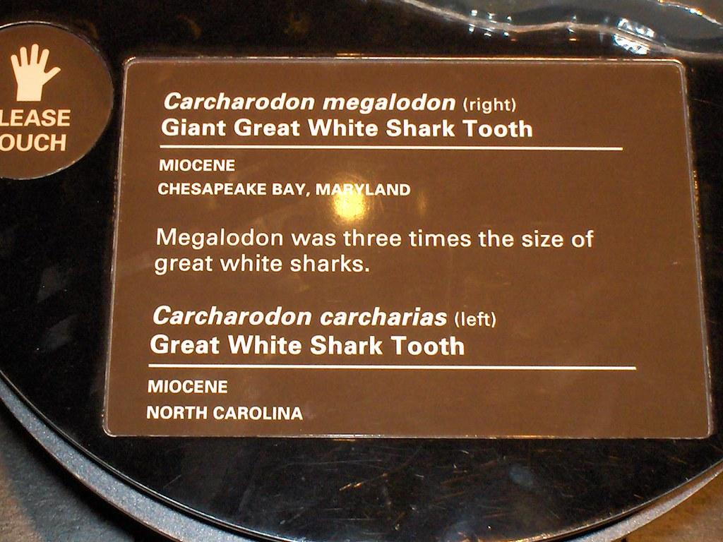 Natural History Museum Megalodon Shark Jaws | texas