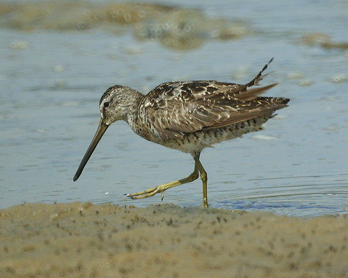 Becasa migratoria [Dowitcher] (Limnodromus sp) | by barloventomagico