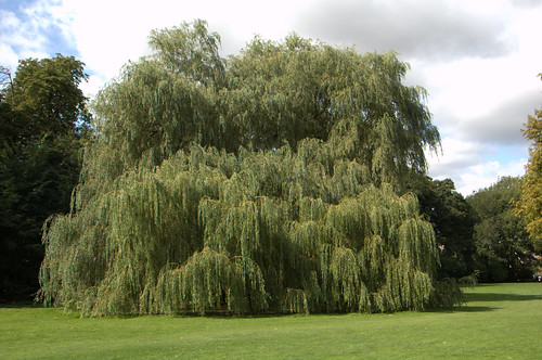 verulamium park - willowtree1 | by puddy_uk
