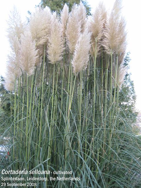 Cortaderia selloana (Pampas Grass) - Splinterln, Leiderdorp, NL 29 Sept 2008 02 Leo